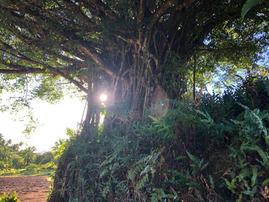 Banyan tree on the maraeBanyan tree on the marae